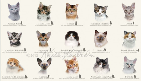 Rassekatzen Cat Breeds Panel 60 cm